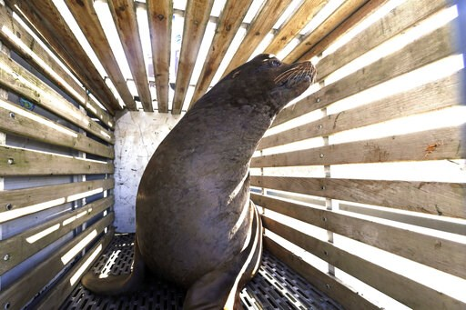 (AP Photo/Don Ryan, File). FILE - In this March 14, 2018 file photo, a California sea lion that was trapped at Willamette Falls in the lower Willamette River waits to be released into the Pacific Ocean near Newport, Ore. Oregon wildlife officials have ...