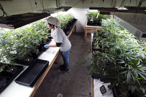 (AP Photo/Richard Vogel, file). FILE - In this Dec. 27, 2018 file photo a grower at Loving Kindness Farms attends to a crop of young marijuana plants in Gardena, Calif. Gavin Newsom's new budget is a figure that says a lot about California's shaky lega...