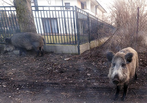 (AP Photo/Czarek Sokolowski). In this photo taken March 25, 2018, wild boar are seen roaming near houses in Lomianki county on Warsaw outskirts.Tens of thousands of Poles are protesting a government plan to hold a massive slaughter of wild boars as a w...
