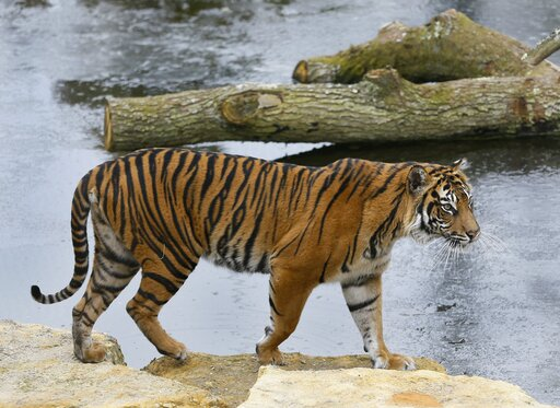 (AP Photo/Kirsty Wigglesworth, file). FILE - In this Wednesday, March 27, 2013 file photo, Melati a female Sumatran Tiger walks past her frozen pool, at London Zoo. London Zoo says one of its female Sumatran tigers has been killed by a potential mate w...