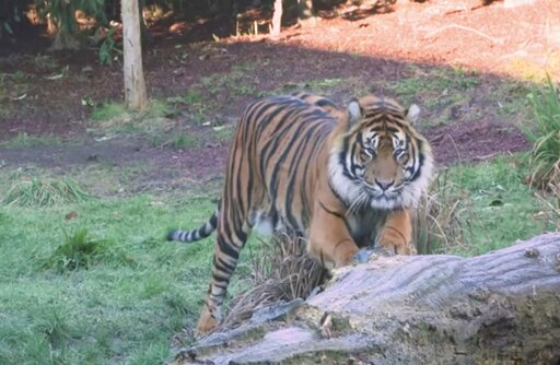 (London Zoo via AP). This image taken from video and made available by London Zoo, shows Sumatran tiger named Asim at London Zoo, Wednesday Jan. 30, 2019. Asim was recently transfered to London from a Danish safari park to serve as a new mate for femal...