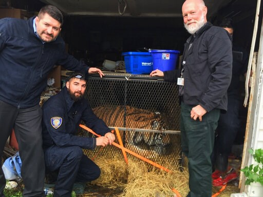 (Lara Cottingham/Administration & Regulatory Affairs Department via AP). This undated photo shows a tiger in Houston. Houston police say some people who went into an abandoned home to smoke marijuana found a caged tiger. They called the city on Mon...