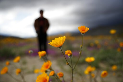 (AP Photo/Gregory Bull). In this Wednesday, March 6, 2019, photo, a man looks on amid wildflowers in bloom near Borrego Springs, Calif. Two years after steady rains sparked seeds dormant for decades under the desert floor to burst open and produce a sp...