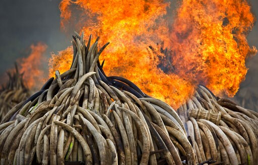 (AP Photo/Ben Curtis). FILE - In this Monday, Sept. 4, 2017 file photo, pyres of ivory are set on fire in Nairobi National Park, Kenya. Kenya's president Saturday set fire to 105 tons of elephant ivory and more than 1 ton of rhino horn, believed to be ...