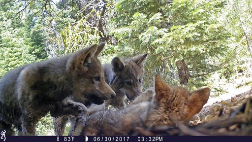 (U.S. Forest Service via AP, File). FILE - This June 30, 2017 remote camera image released by the U.S. Forest Service shows a female gray wolf and her mate with a pup born in 2017 in the wilds of Lassen National Forest in Northern California. U.S. wild...
