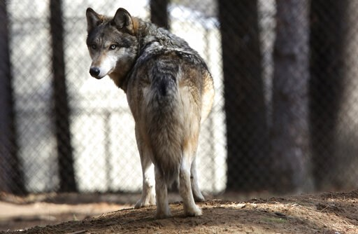 (Dave Kettering/Telegraph Herald via AP, File). In this April 11, 2018 file photo, a gray wolf stands at the Osborne Nature Wildlife Center south of Elkader, Iowa. U.S. wildlife officials plan to lift protections for gray wolves across the Lower 48 sta...