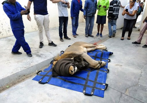 (AP Photo). In this photo taken on Wednesday, March 13, 2019, a darted captured lion is seen in a police cell at the Sutherland, South Africa. The lion had escaped from the Karoo National Park near Beaufort West, some 320km away, a month ago after he r...