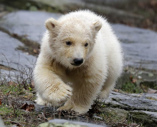 (AP Photo/Markus Schreiber). A female polar bear baby walks with its mother Tonja through their enclosure at the Tierpark zoo in Berlin, Friday, March 15, 2019. The still unnamed bear, born Dec. 1, 2018 at the Tierpark, is presented to the public for t...