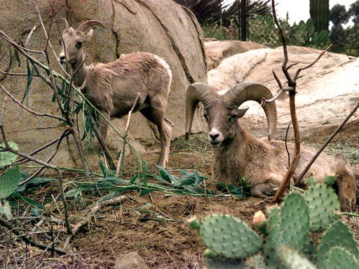 (AP Photo/Bob Grieser, File). FILE - In this May 25, 2000 file photo, Desert Bighorn Sheep eat and rest in the Condor Ridge exhibit at the San Diego Wild Animal Park. A new survey has found a sharp decline in desert bighorn sheep in Southern California...