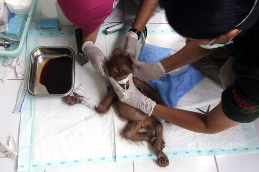 (AP Photo/Binsar Bakkara). In this photo taken on Sunday, March 17, 2019, a veterinarian and a volunteer of Sumatra Orangutan Conservation Programme (SOCP) tend to a three-month old baby orangutan named 'Brenda' that was evacuated from a village with a...