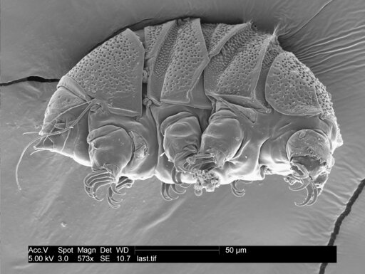"(William Miller via AP). This undated electron microscope image provided by William Miller of Baker University in March 2019 shows a tardigrade of the class Heterotardigrada, also known as a ""water bear."" The small animals, about the size of a period, ..."