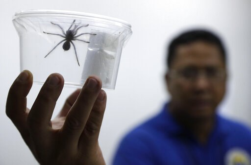 (AP Photo/Aaron Favila). A staff of the Philippine Department of Environment and Natural Resources shows one of the 757 Tarantulas kept inside plastic containers at their office in metropolitan Manila, Philippines on Wednesday, April 3, 2019. Philippin...