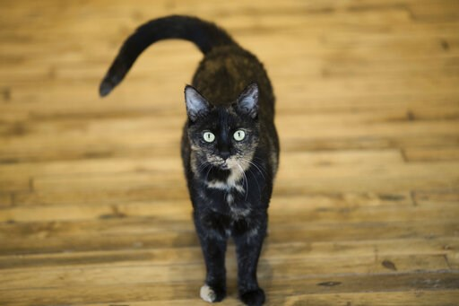 (AP Photo/Matt Rourke). FILE - This Thursday, Oct. 5, 2017 photo shows Shelley, an adopted cat, at its new home in Philadelphia. A study released on Thursday, April 4, 2019, suggests house cats respond to the sound of their own names. Researchers said ...