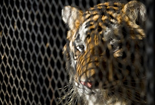 (Godofredo A. Vasquez/Houston Chronicle via AP, File). FILE - In this Feb. 12, 2019, file photo, a tiger that was found in a Southeast Houston residence awaits transport to a rescue facility at the BARC Animal Shelter and Adoptions building in Houston....