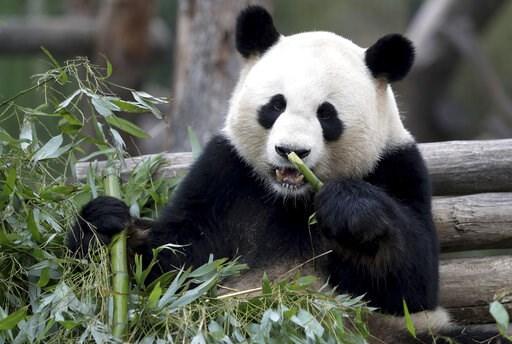 (AP Photo/Michael Sohn). Male panda Jiao Qing eats bamboo in its enclosure at the Zoo in Berlin, Germany, Friday, April 5, 2019.