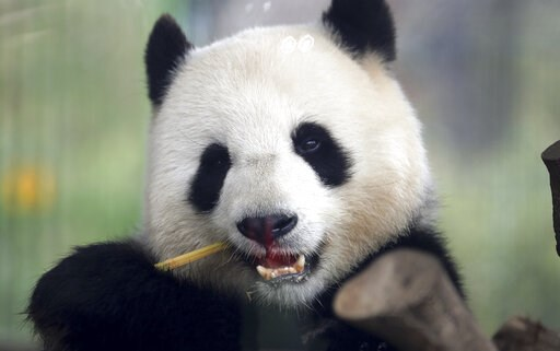 (AP Photo/Michael Sohn). In this picture taken trough a window female panda Men Meng eats bamboo at its enclosure at the Zoo in Berlin, Germany, Friday, April 5, 2019.