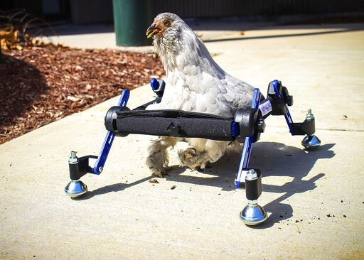 "(Mikayla Feehan/Via AP). In this provided by Mikayla Feehan and taken on April 3, 2019, a pet chicken named Granite Heart tests out a custom wheelchair made by Walkin' Pets in Amherst, N.H. On a recent SNL episode, the television show's ""Weekend Update..."