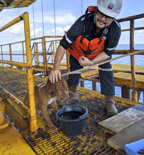 (Vitisak Payalaw via AP). In this Friday, April 12, 2019, photo, a dog is taken care by an oil rig crew after being rescued in the Gulf of Thailand. The dog found swimming more than 220 kilometers (135 miles) from shore by an oil rig crew in the Gulf o...