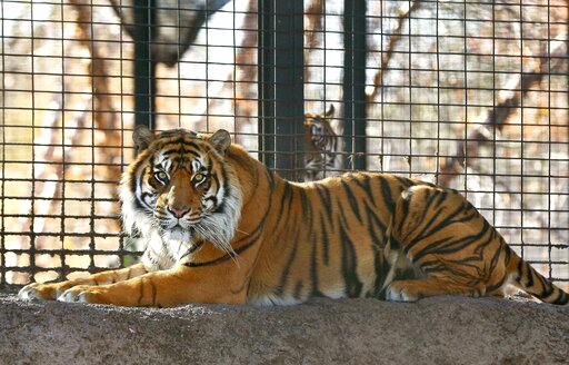 (The Topeka Capital-Journal via AP). This Nov. 2018 file photo shows Sanjiv, a Sumatran tiger at the Topeka Zoo  in Topeka, Kansas.  City officials say Sanjiv, mauled a zookeeper early Saturday, April 20, 2019 in a secured indoor space at the zoo.  Top...
