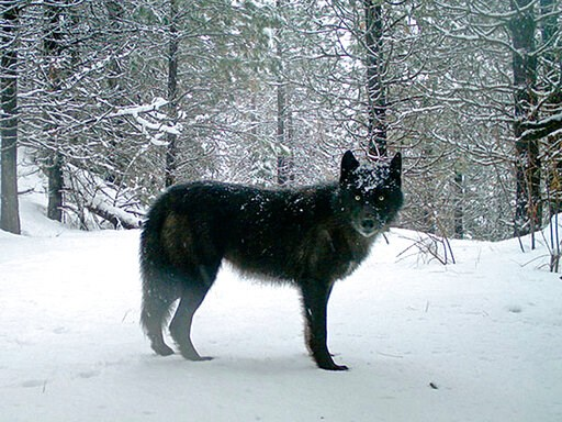 (Oregon Department of Fish and Wildlife via AP, File). FILE - This February 2017 file photo provided by the Oregon Department of Fish and Wildlife shows a wolf of the Wenaha Pack captured on a remote camera on U.S. Forest Service land in Oregon's north...