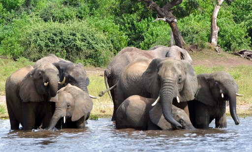 (AP Photo/Charmaine Noronha, File). FILE - In this March 3, 2013 file photo elephants drink water in the Chobe National Park in Botswana. Botswana's government says it has lifted its ban on elephant hunting, a decision that is likely to bring protests ...
