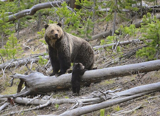 (Frank van Manen/The United States Geological Survey via AP). This April 29, 2019 photo provided by the United States Geological Survey shows a grizzly bear and a cub along the Gibbon River in Yellowstone National Park, Wyo. Wildlife officials say griz...