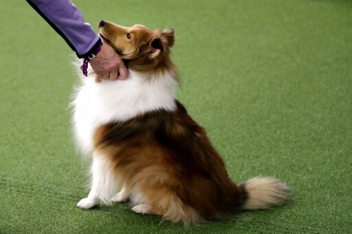 (AP Photo/Wong Maye-E). FILE - This Saturday, Feb. 9, 2019 file photo shows a Shetland sheepdog at the Westminster Kennel Club Dog Show in New York. A study published Thursday, June 6, 2019 in the journal Scientific Reports, suggests that dogs owners e...