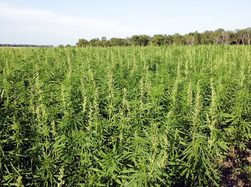 (North Dakota Department of Agriculture via AP,File). FILE - This July 2016 photo provided by the North Dakota Department of Agriculture shows industrial hemp growing in a field in North Dakota's Benson County. In Arizona, farmers will soon begin plant...