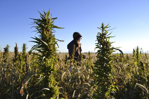 (AP Photo/P. Solomon Banda). FILE - In this Oct. 5, 2013, file photo, a woman stands in a hemp field at a farm in Springfield, Colo. In Arizona, farmers will soon begin planting commercial hemp under a 2018 state law that just took effect once the stat...