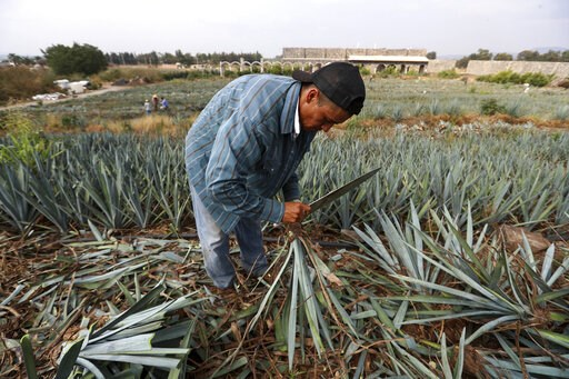 "(AP Photo/Refugio Ruiz). In this Wednesday, June 5, 2019 photo, a worker uses a machete to harvest ""blue agave"", in El Arenal, Jalisco state, Mexico. Agave takes from six to 12 years to mature before it is harvested and the spiny leaves removed for bak..."